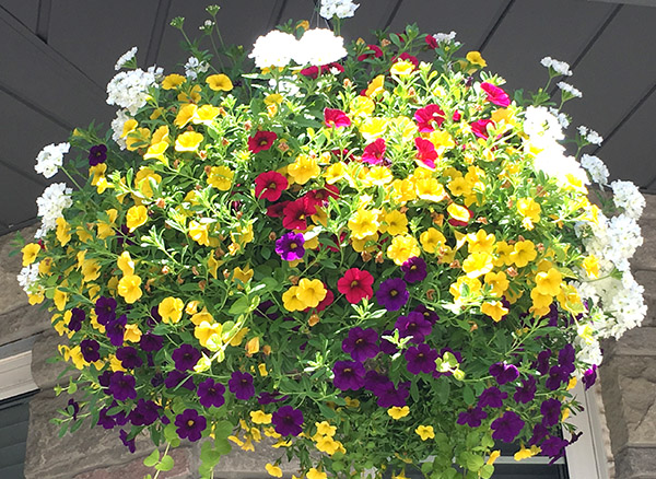 A thing of beauty mixed bell flower hanging basket