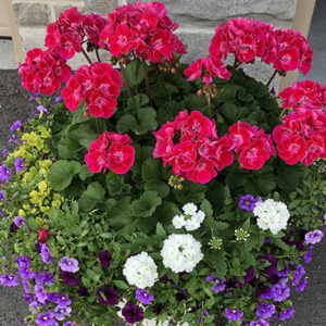 12″ Hanging Basket – Part Sun / Full Sun