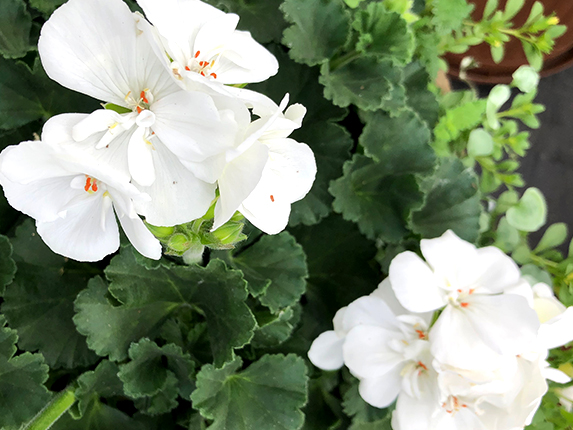 A thing of beauty White Geranium Flower accent colours