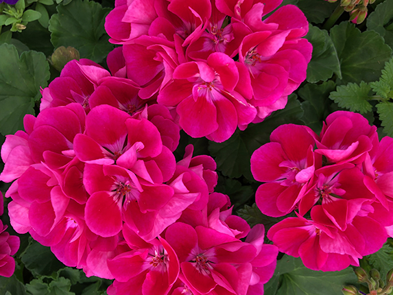 A thing of beauty Dark Pink Geranium Flower accents