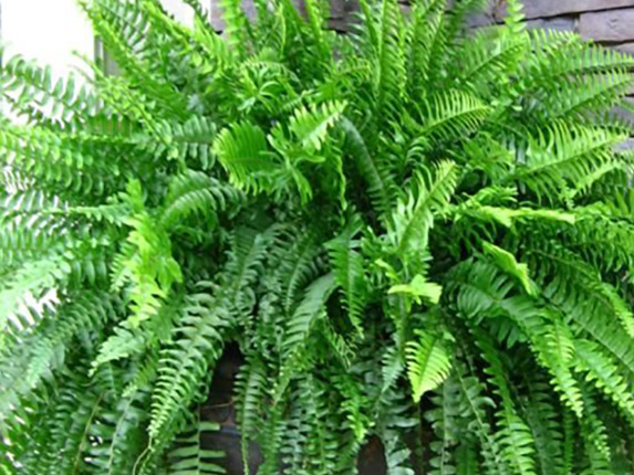 A thing of beauty Boston fern hanging basket