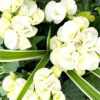 White shade plant with green leafy accents