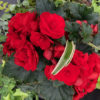 A thing of beauty Red shade flower with green foliage
