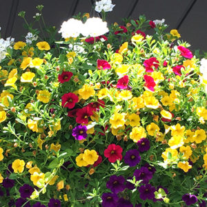 12″ Bells Hanging Basket – Full Sun / Part Sun