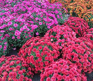 Fall Chrysanthemum (Mums)