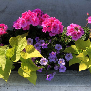 24″ Geranium Planter Window Box – Part Sun / Full Sun