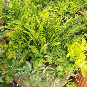 16″ Greenery Hanging Basket with Fern – Part Sun / Shade