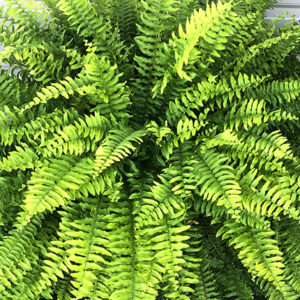 Boston Fern Planter Pot – Part Sun / Shade