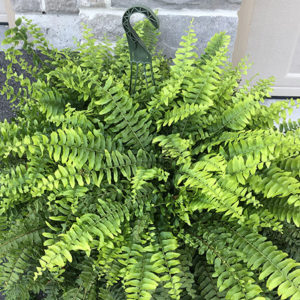 12″ Boston Fern Hanging Basket – Part Sun / Shade
